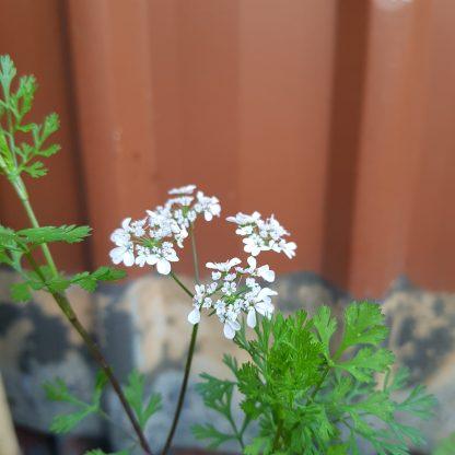 Organic Coriander/Cilantro