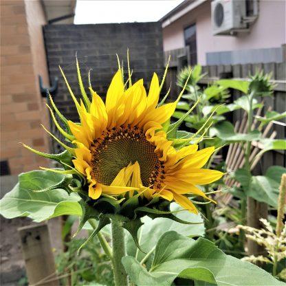 Organic Sun King Sunflower - Yellow