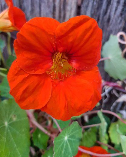 Organic Nasturtiums - Orange Bloomers