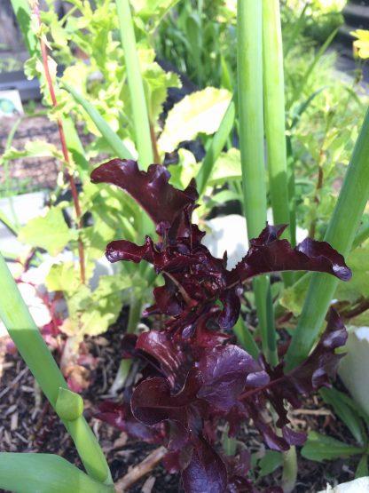 Salad Lettuce mix - red,green, iceberg