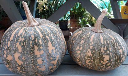 Pumpkin Kent/Jap