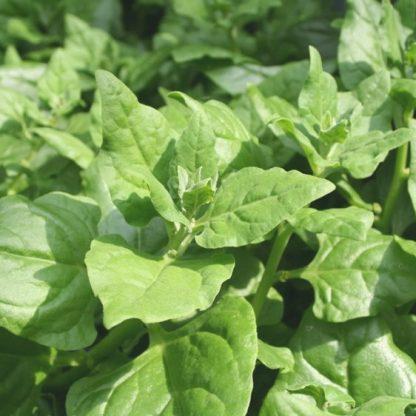 Warrigal Greens / NZ Spinach