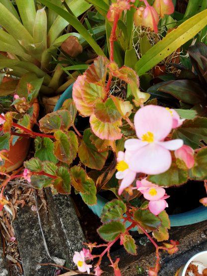 Begonia - Candy Pink