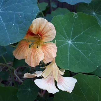 one of the different nasturtiums