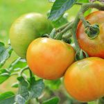 support tomato plants