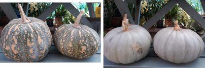 Pumpkin Mix : Queensland Blue + Kent/Jap