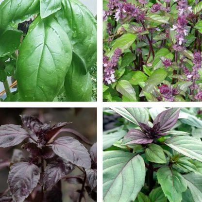 Basil (4 varieties)