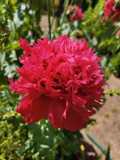 Peony Poppy