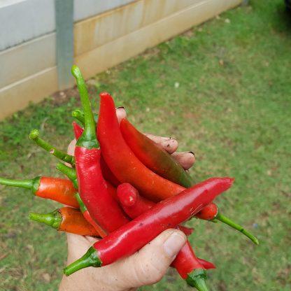 Chilli - Long Red Cayenne