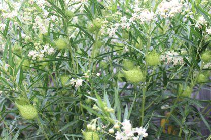 Swan Plant Milkweed