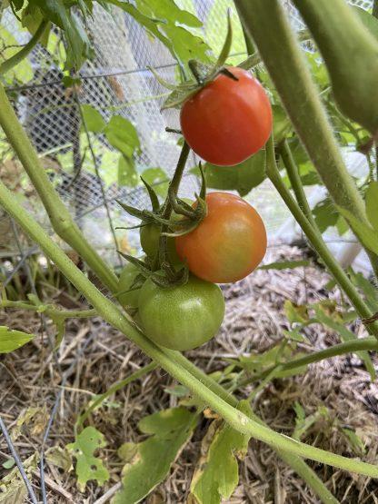 Tomato - Currajong