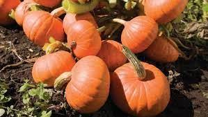 Pumpkin Golden Nuggets