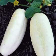White Wonder Cucumber. B3