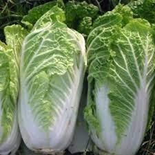 Wong Bok Chinese Cabbage