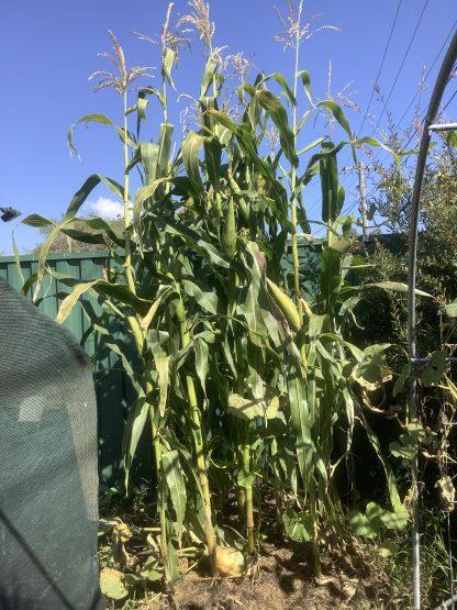 Silvermine White Corn