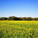 Yellow mustard green manure