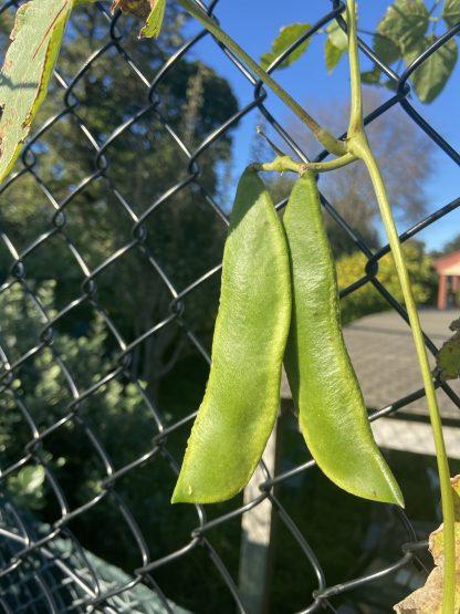 Climbing Bean- Madagascar syn. Tropical Lima Bean