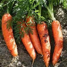 All Seasons Carrot. C7