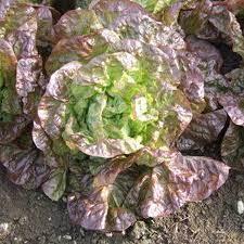 Marvel of Four Seasons Lettuce. C16