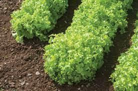 Salad Bowl Green Lettuce. D3