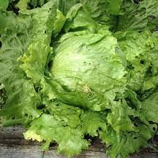 Saladin Lettuce. C15