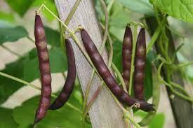 Black Turtle Bean seeds. A9