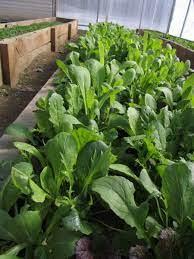 Asian Greens Salad Mix