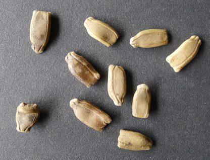 New Guinea Bean