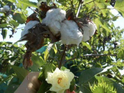 White Cotton seeds. B8