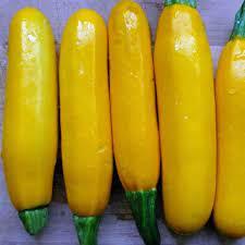 Yellow Straightneck Zucchini seeds. F16