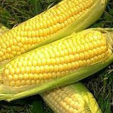 balinese sweet corn seeds. C6