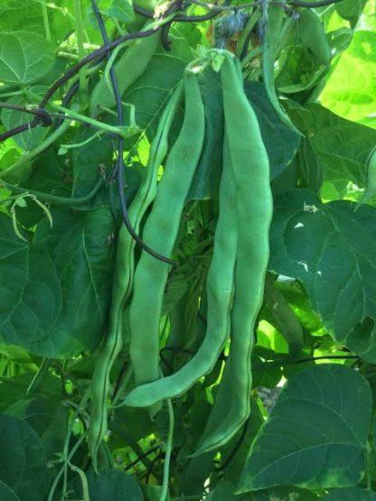 Northeaster climbing beans