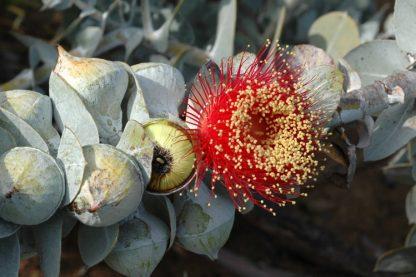 Australian Bush Rose (Eucalyptus Macrocarpa)