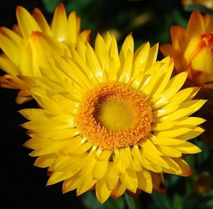 Everlasting Paper Daisy (Xerochhrysum bracteatum) Mixed