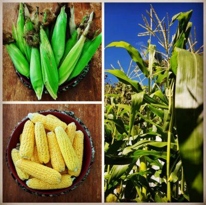 Sweet Corn (Jolly Roger)