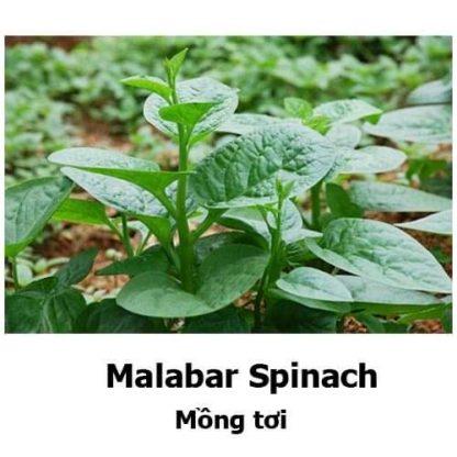 Malabar / Climbing Spinach (mixed red and green)