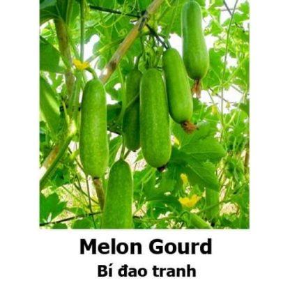 Melon Gourd